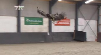 Dutch police training eagles to catch and take down drones