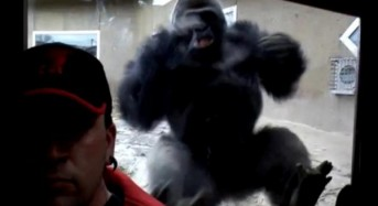 Gorilla disapproves of selfie-taking man, charges glass wall