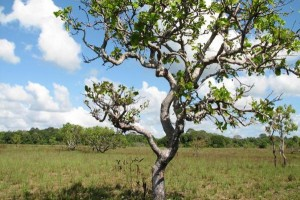 Massive-deforestation-discovered-in-Brazils-Cerrado-region