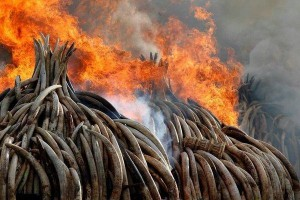 Kenya-torches-100-tons-of-ivory-to-curb-poaching
