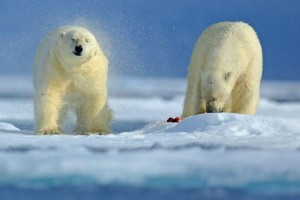 rescuers-help-russians-trapped-by-polar-bears-in-arctic