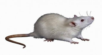 Mouse study hints at why obese people struggle to exercise