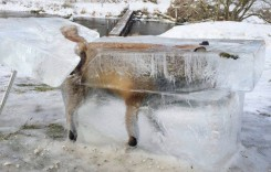 Perfectly frozen fox is eerie reminder that nature is cruel