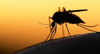 Second type of mosquito may be able to carry Zika virus
