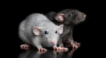 French teen hospitalized after rats attack her in her sleep, father says