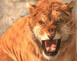 Tuesday, a lion at a private game reserve in South Africa mauled a 22-year-old woman to death. File Photo by Stephen Shaver/UPI | License Photo