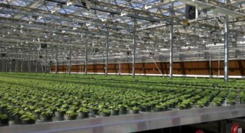 Tobacco being tested for flu vaccine production