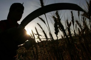 Palestinian farmers collect wheat stalks during the annual harvest at a farm near the Deir Al-Balah refugee camp, in central Gaza. A new report Friday said the number of people worldwide who don't have consistent access to food is growing. File Photo by Ismael Mohamad/UPI | License Photo