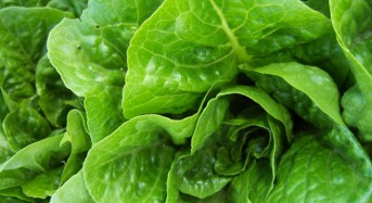 E. coli-tainted romaine lettuce threatens frail, sick most