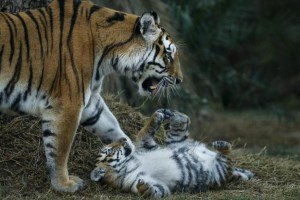 The Siberian tiger population in northeast Asia is small but recent footage shows the animals in the wild in China. File Photo by Rodrigo Antunes