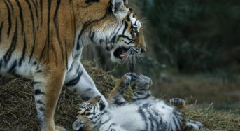 Rare Siberian tiger mom seen caring for cubs in China video